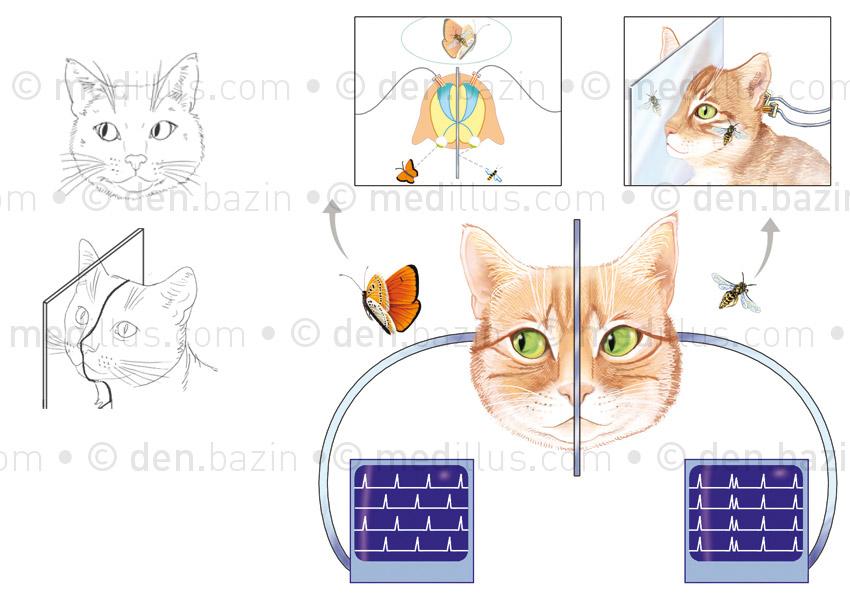 Vision binoculaire du chat