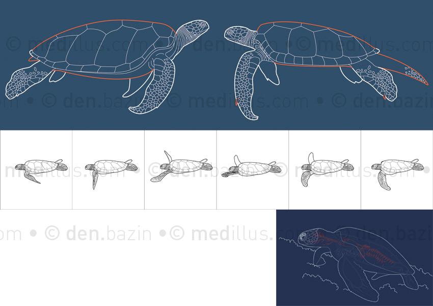 Femelle, mâle, nage et tortue au repos