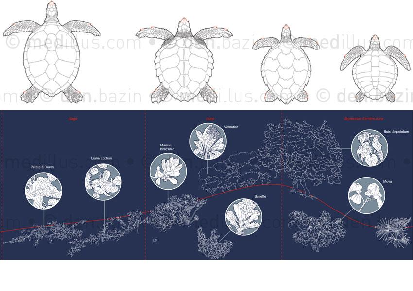 4 espèces de tortues et végétaux typiques d'une plage de ponte