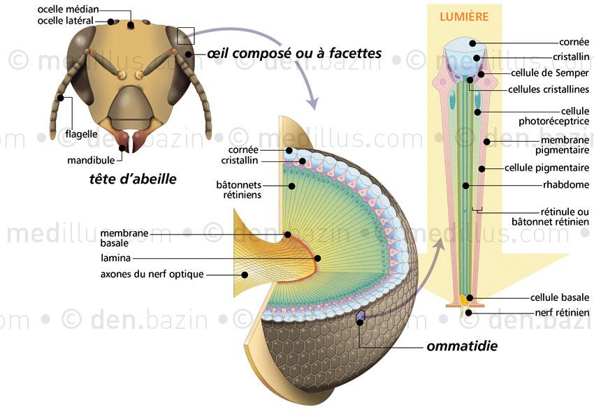 Anatomie de l'œil à facettes de l'abeille