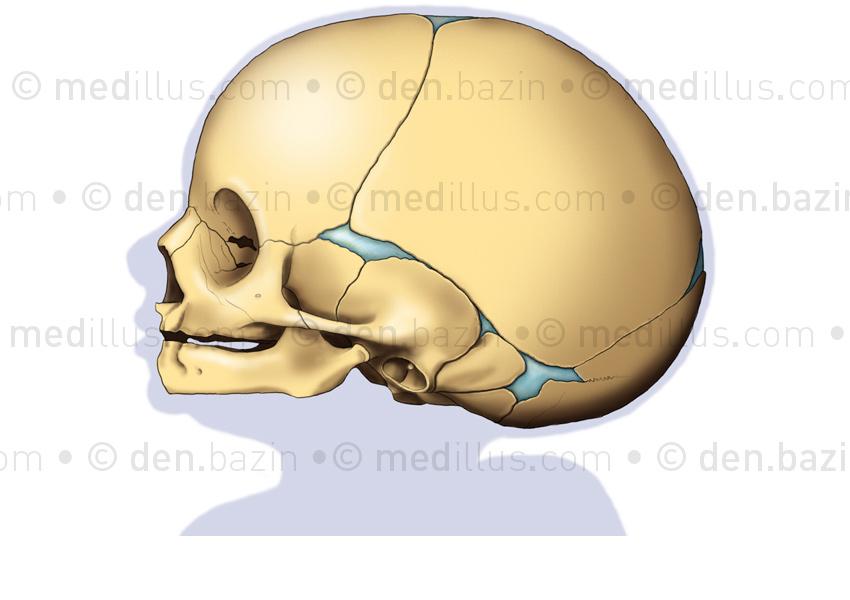 Crâne de nouveau-né