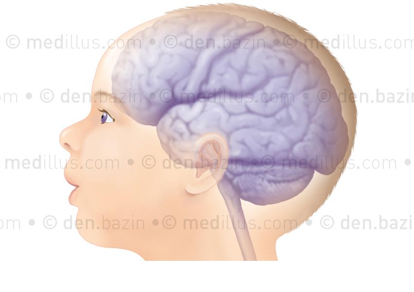 Cerveau à terme