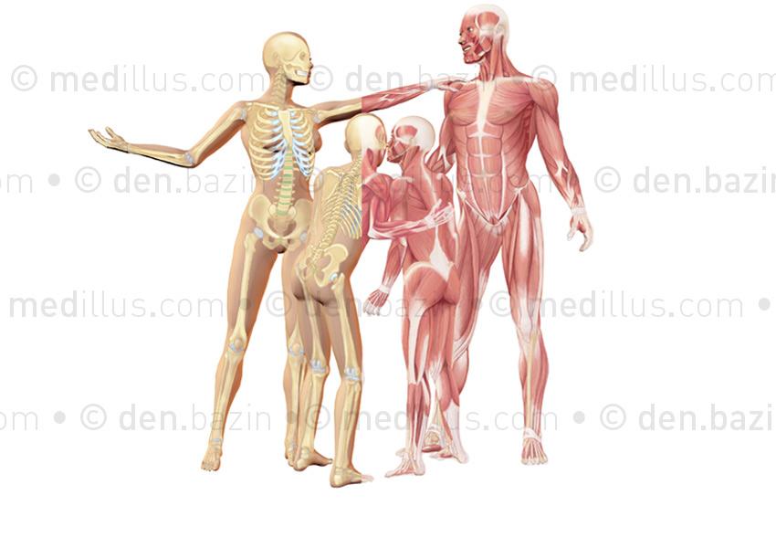 Squelette et muscles