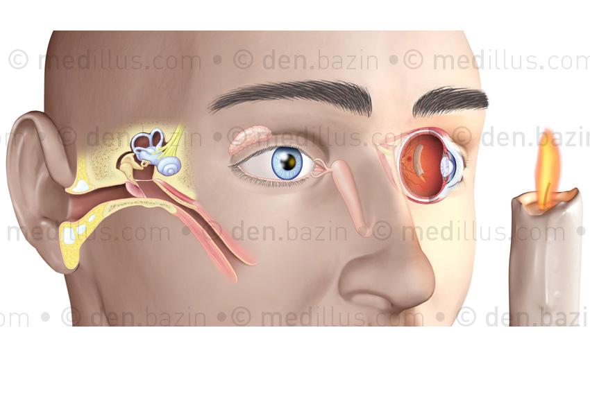 Organes de l'ouïe et de la vue