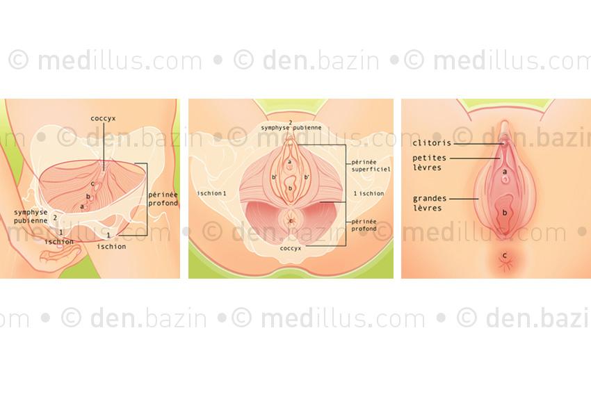 Anatomie du périnée et de la vulve