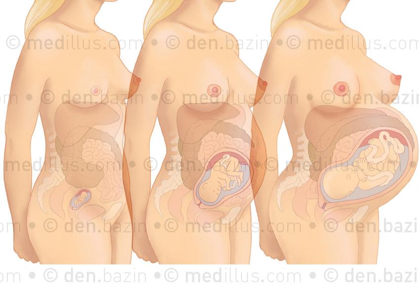 Trois trimestres de la grossesse