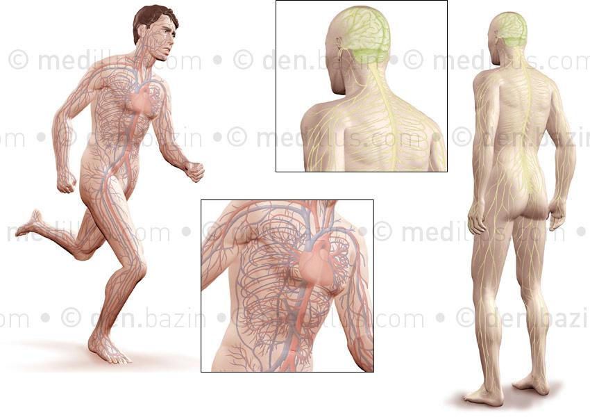 Systèmes circulatoire et nerveux