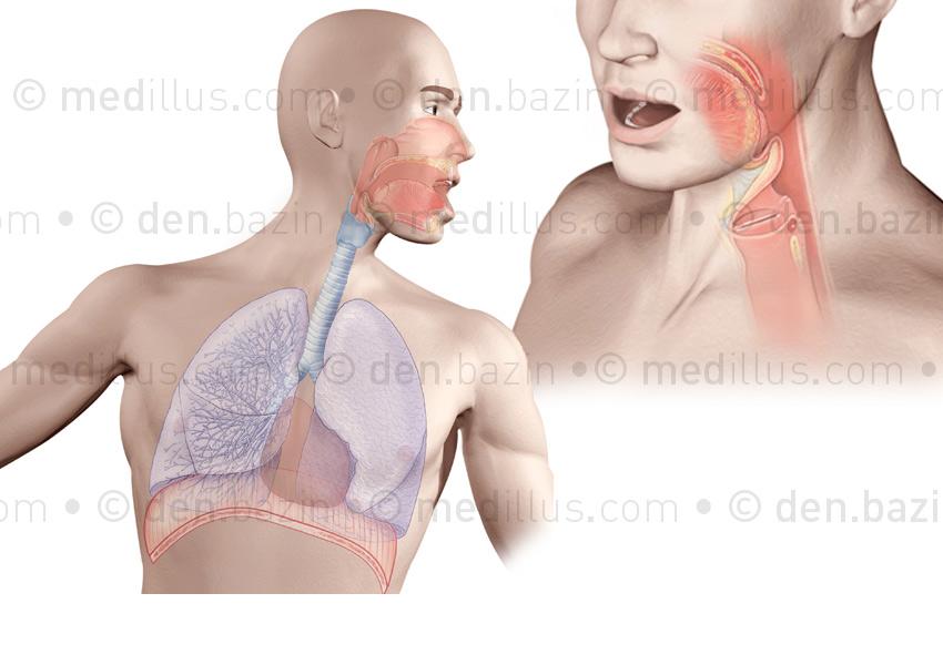Système respiratoire et cordes vocales