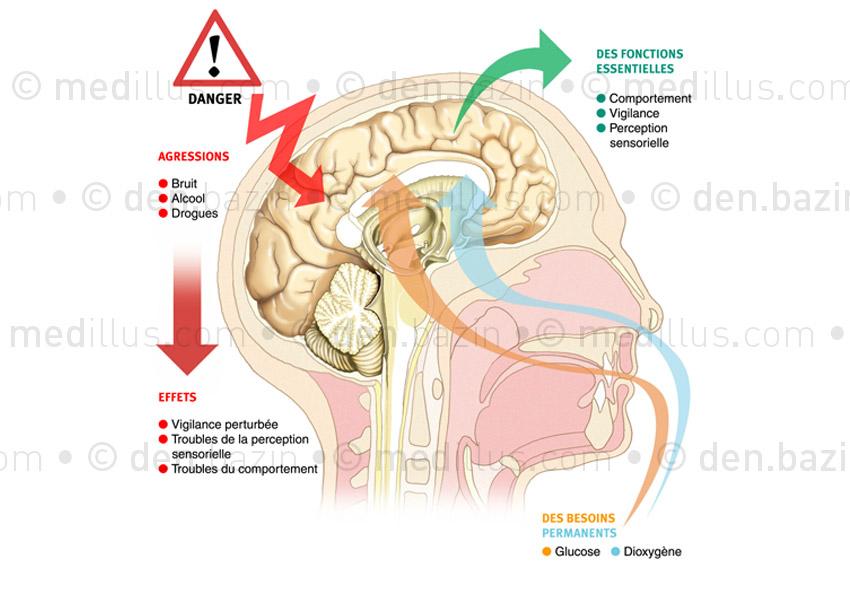 Le cerveau, un organe fragile