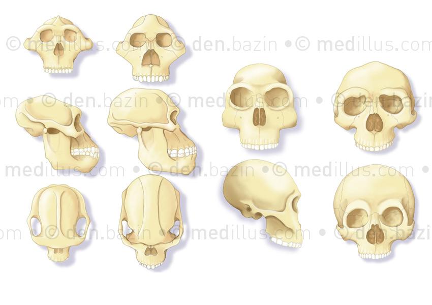 De l'australopithèque à l'homosapiens