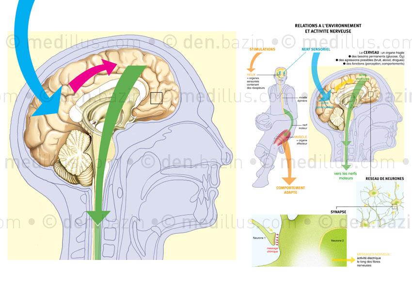Schéma bilan des fonctions cérébrales