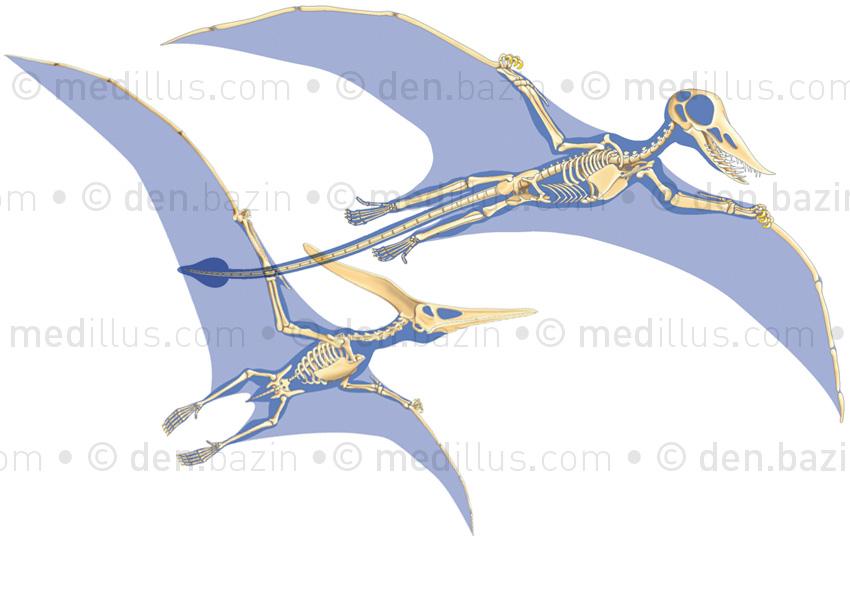 Squelettes de ramphorhynchus et de ptéranodon
