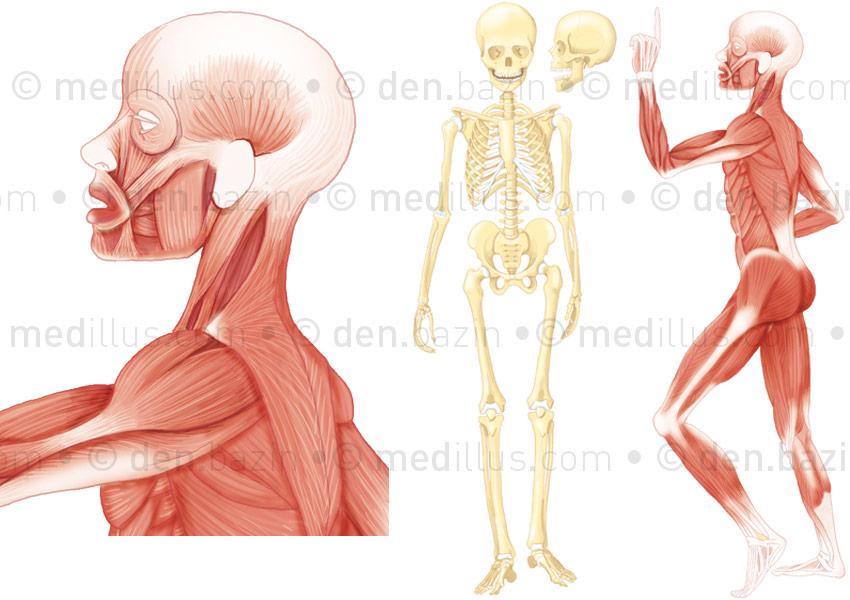 Planche squelette - muscles