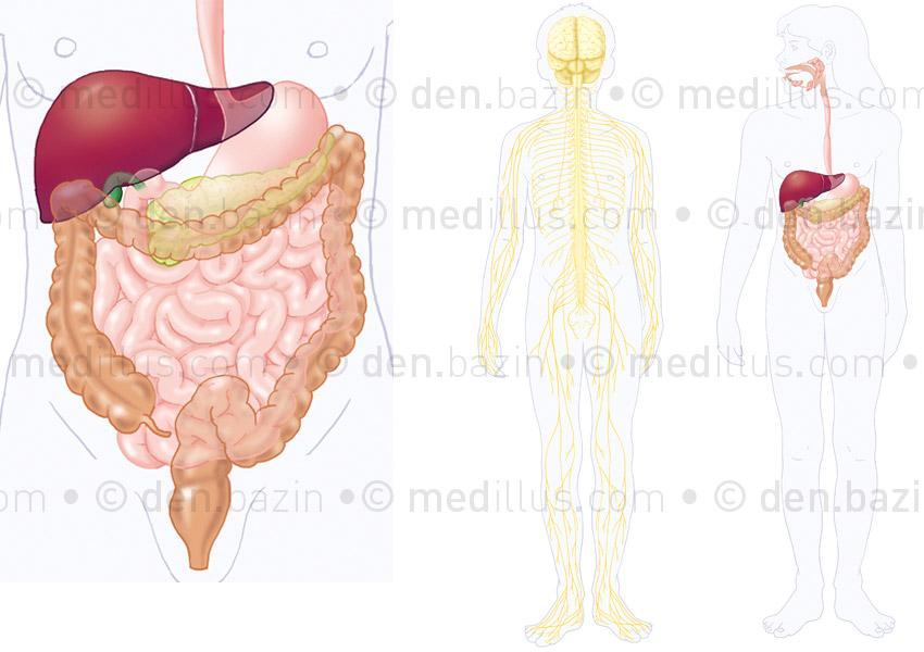 Planche systèmes nerveux - digestif
