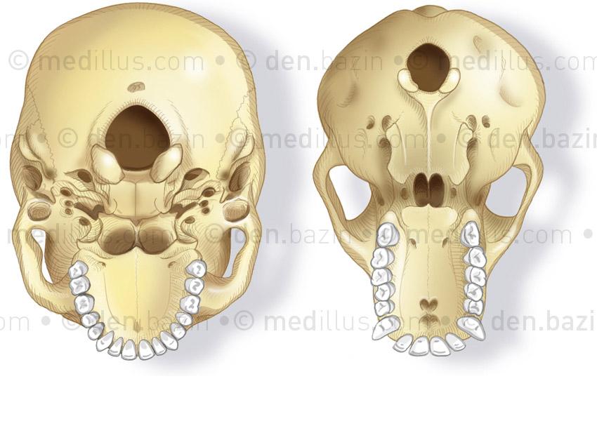 Crânes d'homme et de chimpanzé
