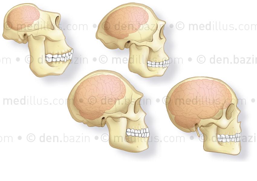 Crânes de paranthropus, australopitthèque, homo-erectus et homme moderne