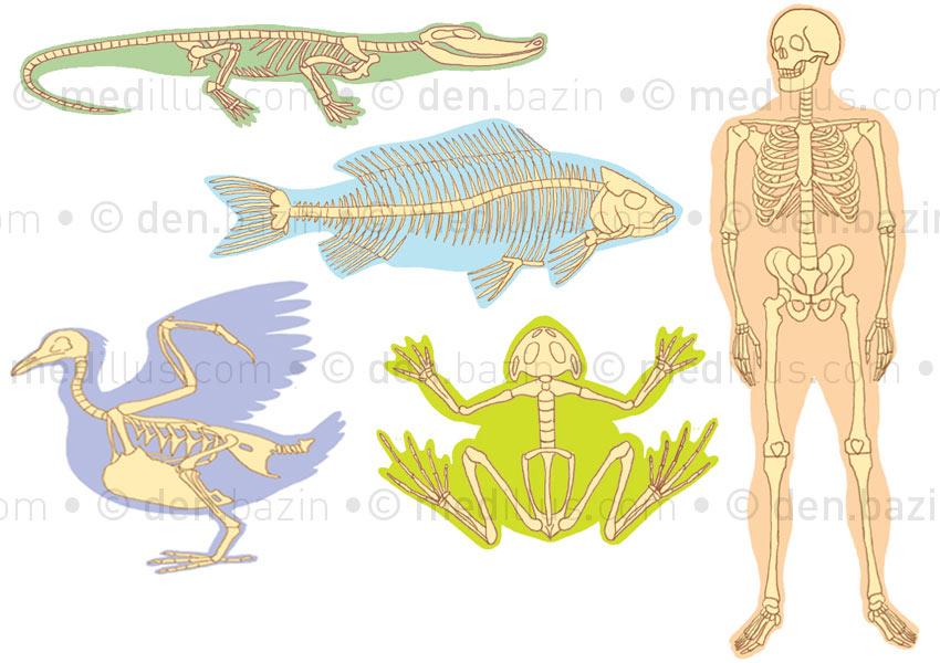 Comparaison des squelettes
