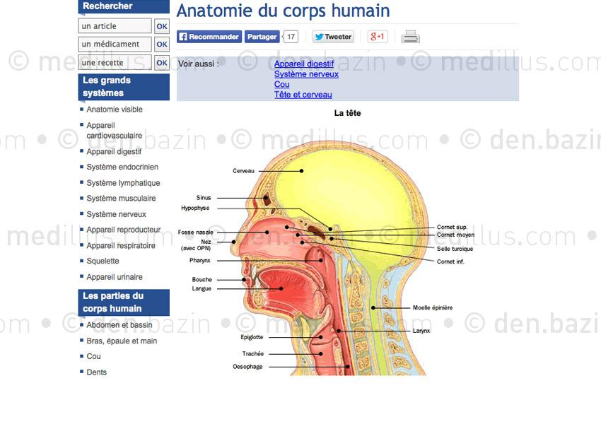 appareille respiratoire humain