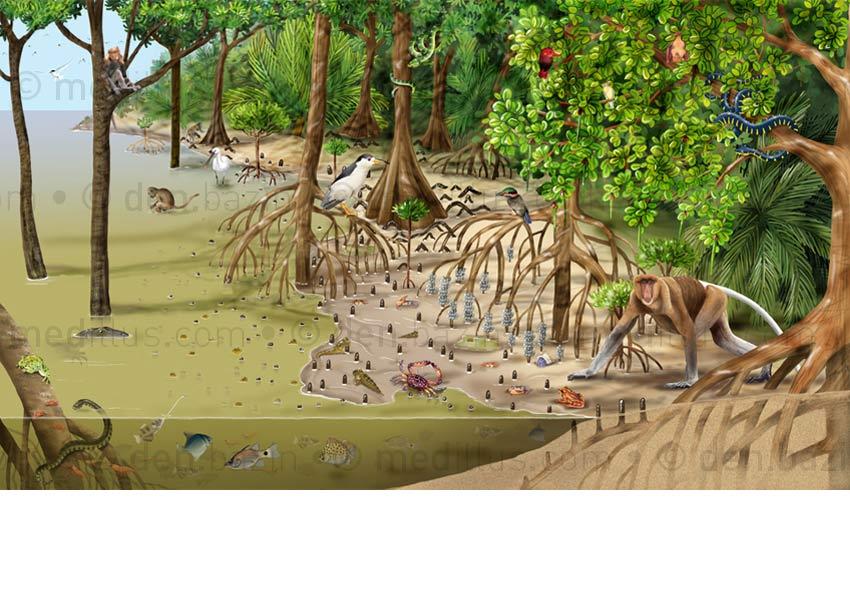La mangrove, dépliant p.1,2 et 3