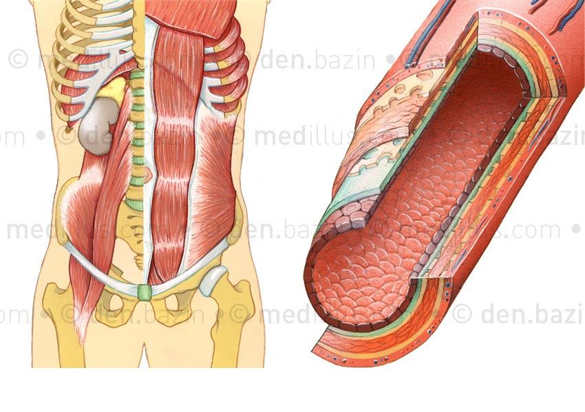 Muscles de l'abdomen et structure d'une artère