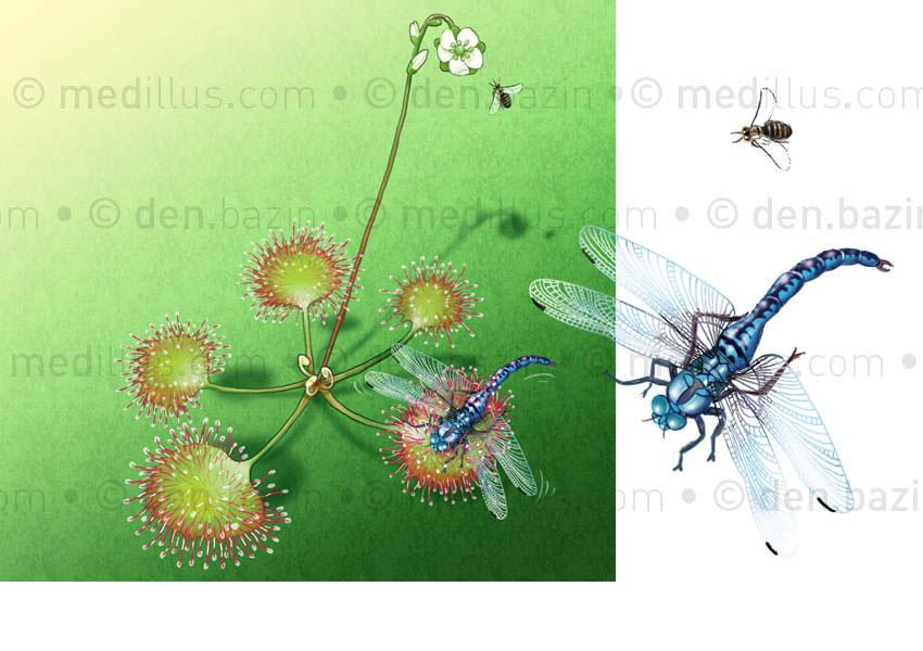 Droséra et libellule