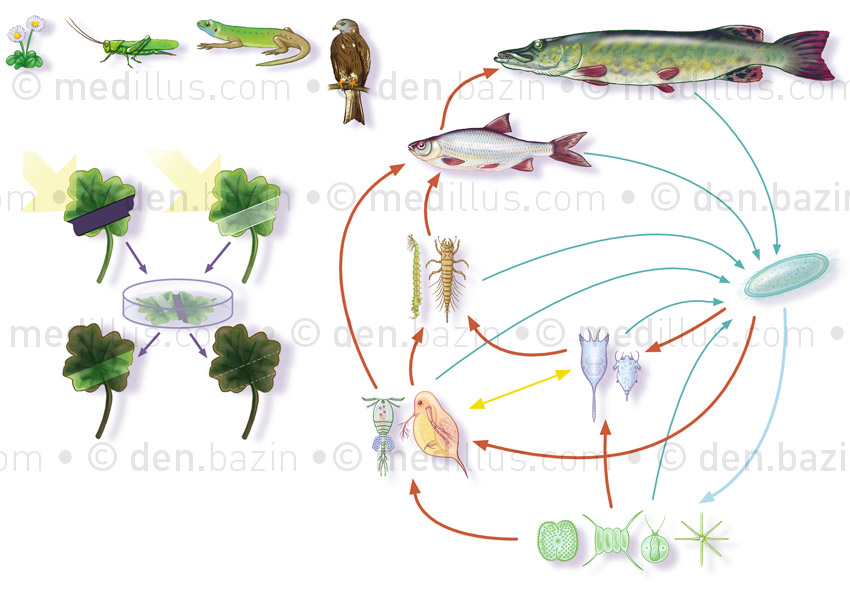 Chaînes alimentaires et chlorophylle