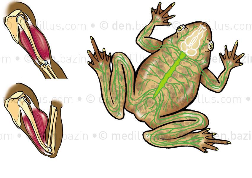 Mouvement et système nerveux de grenouille
