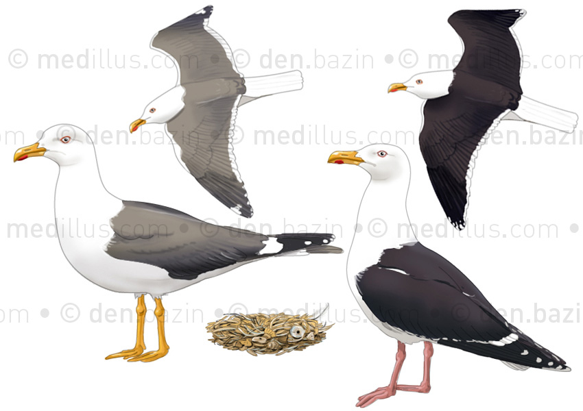 Goéland brun et Goéland marin