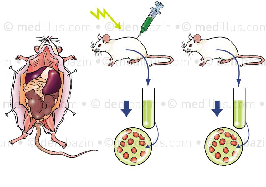 Expérience immunité du rat