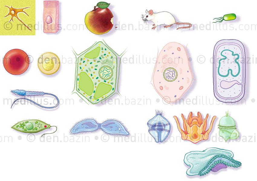 Cellules végétale, animale, bactérienne