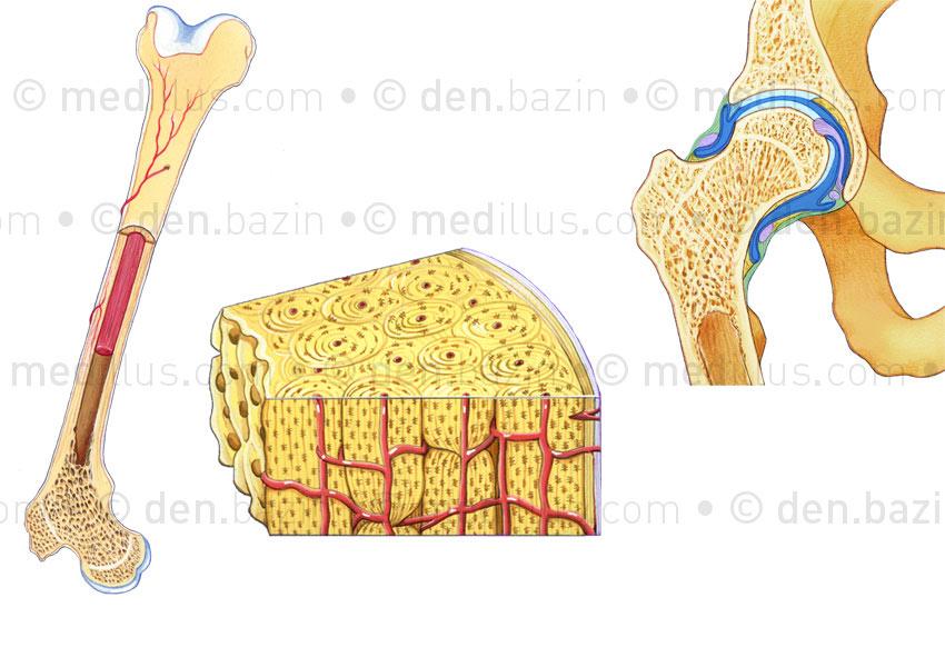 Structure osseuse et capsule articulaire