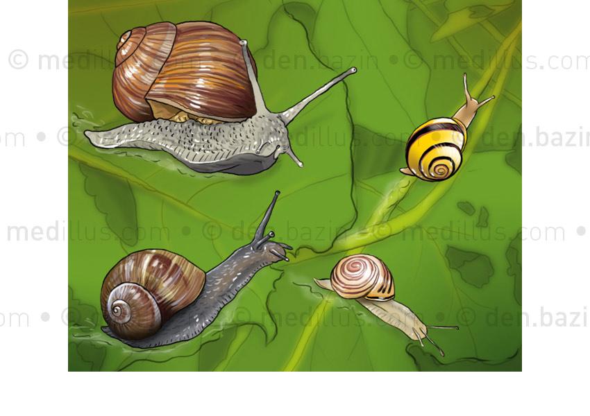 Escargots de Bourgogne, Petit-gris, des bois et des jardins