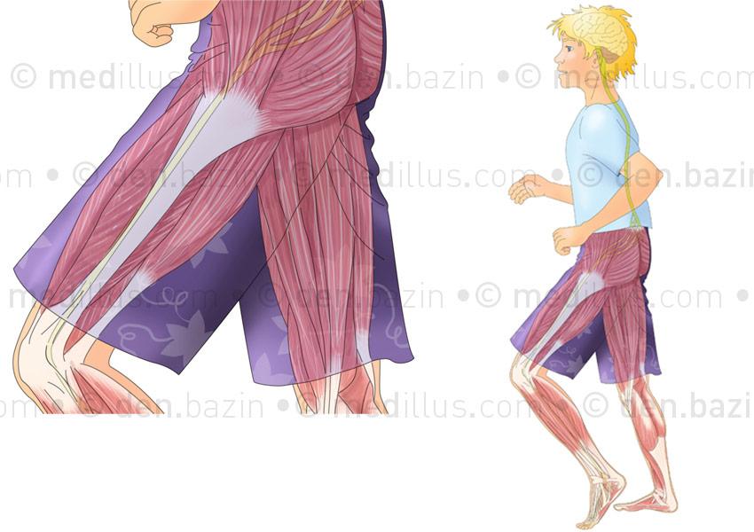 Les muscles de la marche