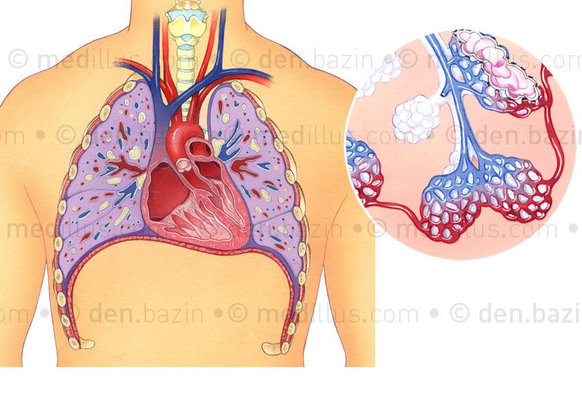Système pulmonaire et alvéoles