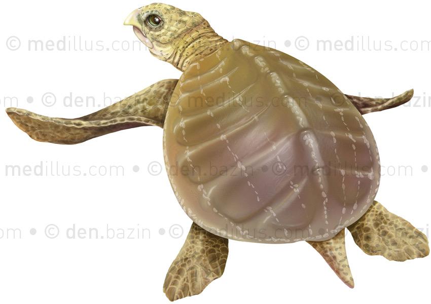 L'archelon, ancêtre des tortues marines