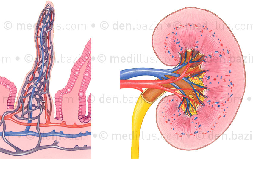Villosité intestinale et rein
