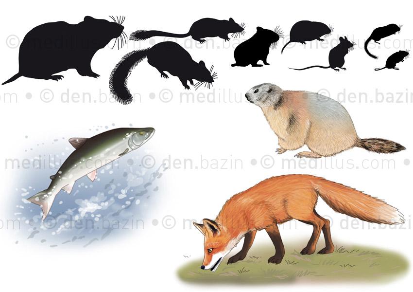 Rongeurs, marmotte et renard