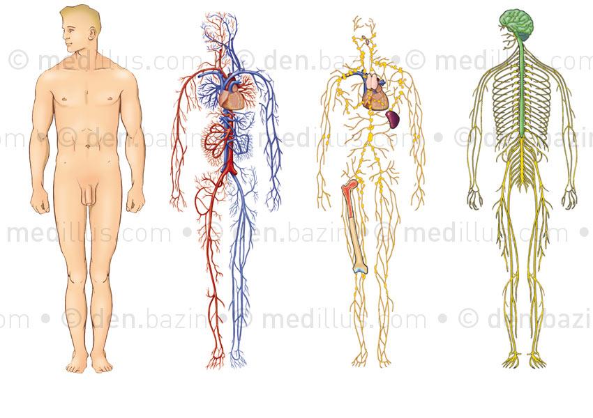 Systèmes anatomiques pour transparents