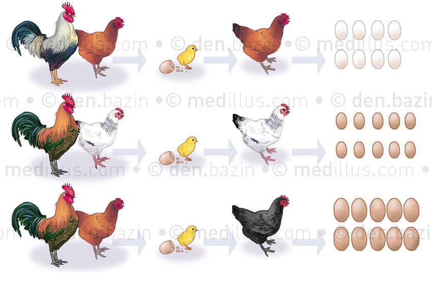 Génétique ovine