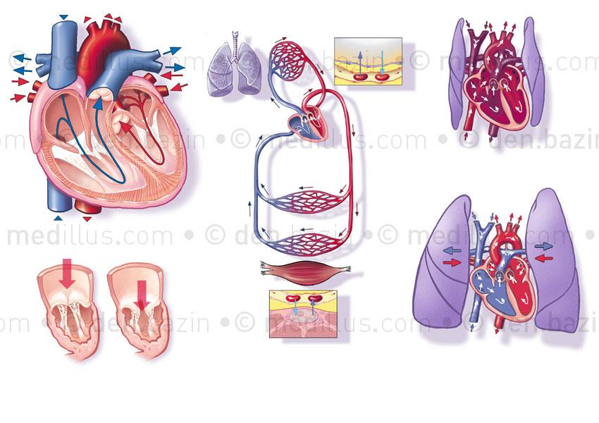 Cœur, valvules, système circulatoire normal et fœtal