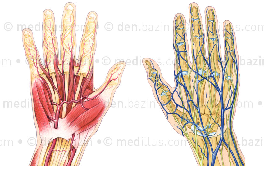 Muscles, artères, veines et nerfs de la main