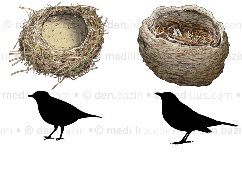 Nids d'oiseaux : grive et merle