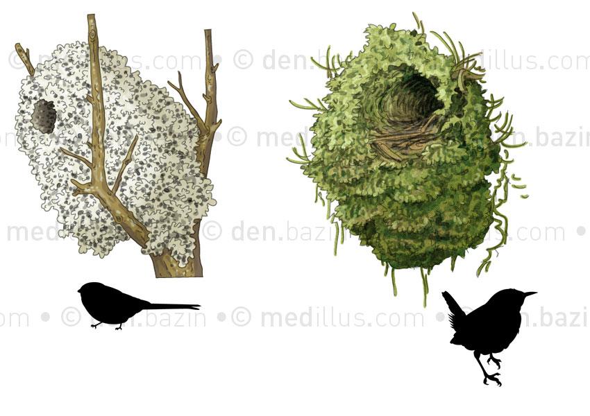 Nids d'oiseaux : mésange et troglodyte