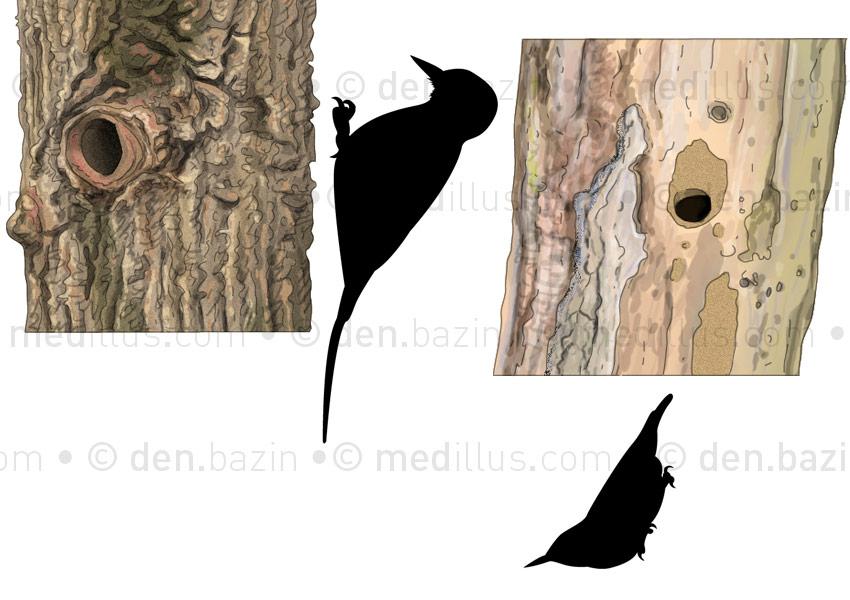 Nids d'oiseaux : pic épeiche et sitelle