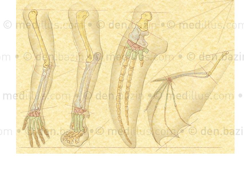 Comparaison des squelettes du membre supérieur de diverses espèces animales