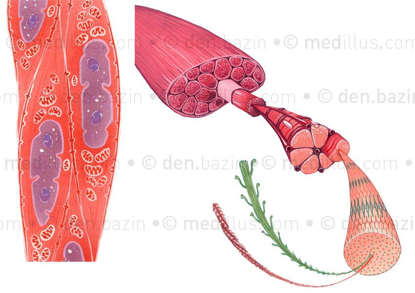 Cellule et fibres musculaires