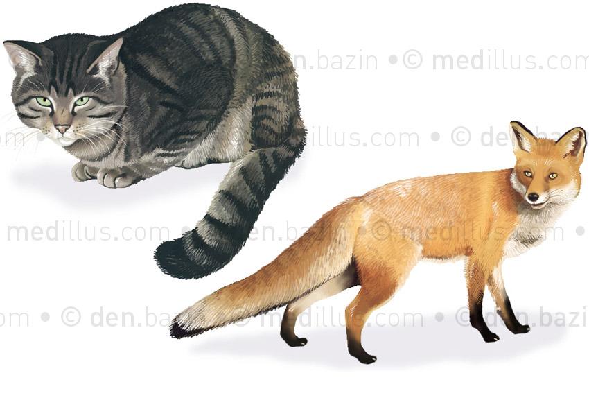 Chat sauvage et renard roux
