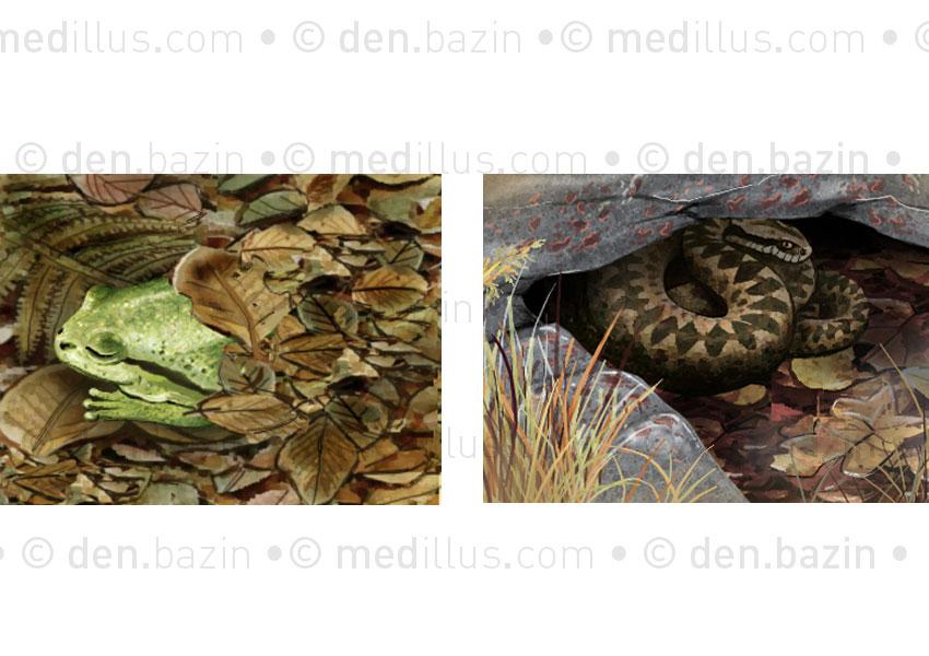 Grenouille verte et vipère