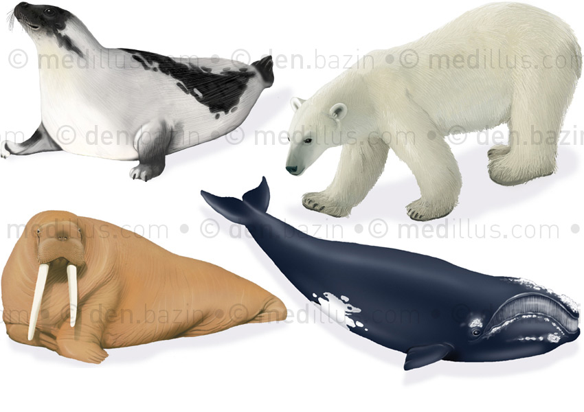 Mammifères polaires