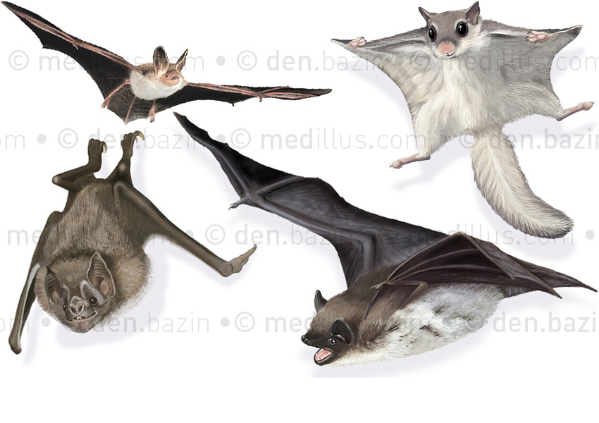 Chauve-souris et phalanger volant